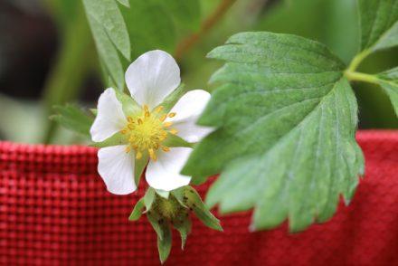 Bacsac - Potager fleur fraise